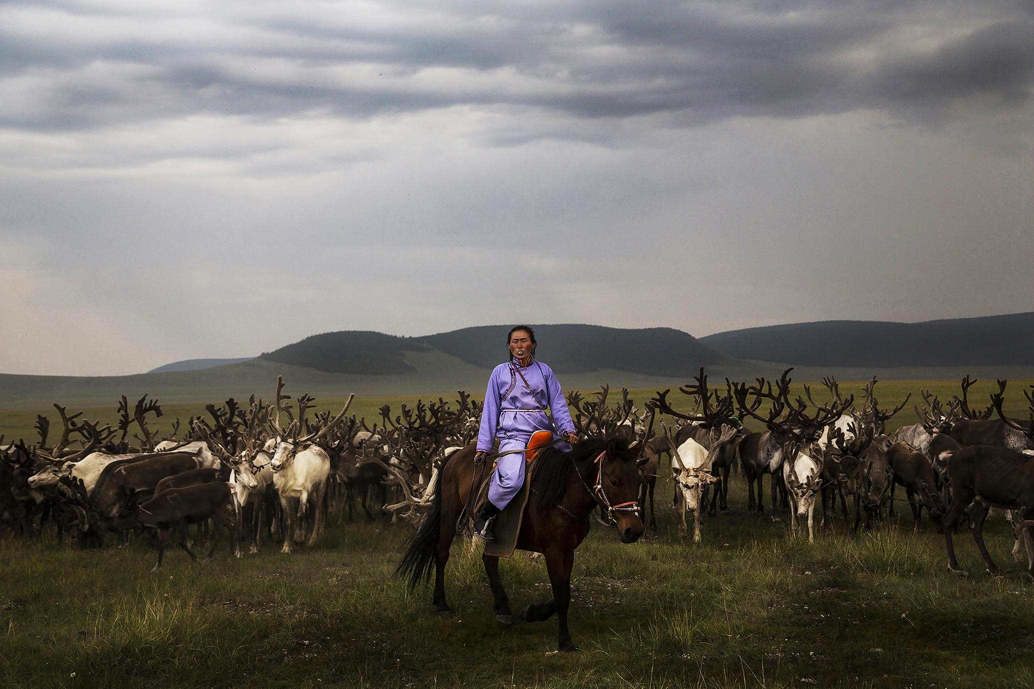 A Tsaatan woman herding her reindeer during the Naadam festivities near the Lake Tsagaannuur, in the Mongolian taiga. The Tsaatan descend from their camps to participate in the Naadam, a traditional Mongolian festival and that in this area of Mongolia is celebrated in a special way having as guests of honor the Tsaatan people, seeking to spread and preserve their customs.