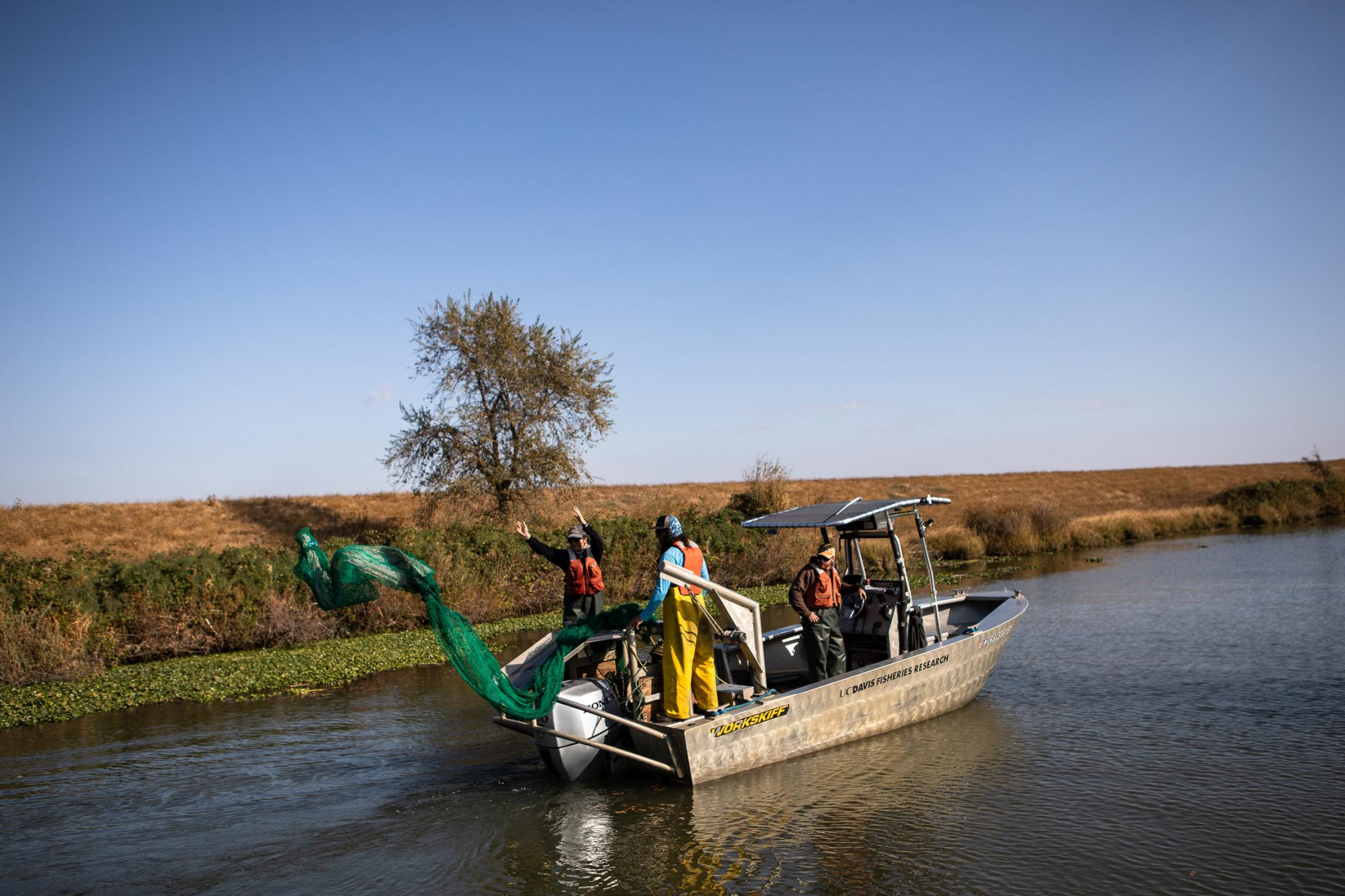 """An otter trawl net is cast into the Cache slough in search of Delta smelt. But it's been four years since the research team of researchers from the University of California , Davis, have found the finger-length fish that gleam golden and """"smell kind of like cucumber"""" in the brackish streams and sloughs of northern California's bay delta."""