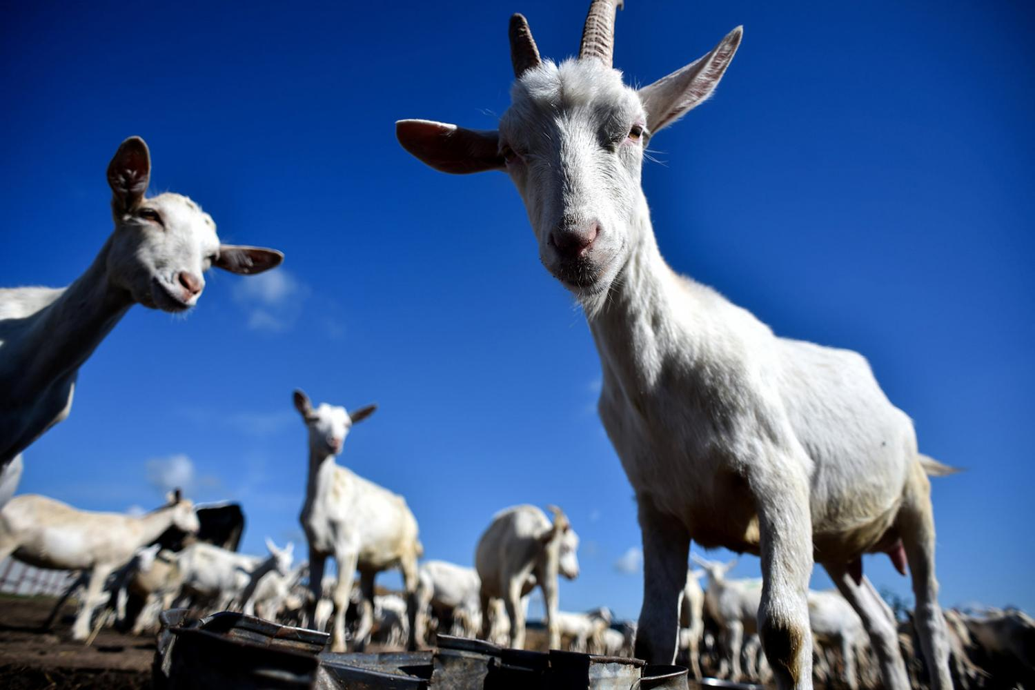 How Goats (And Perhaps People) Make Up Their Minds
