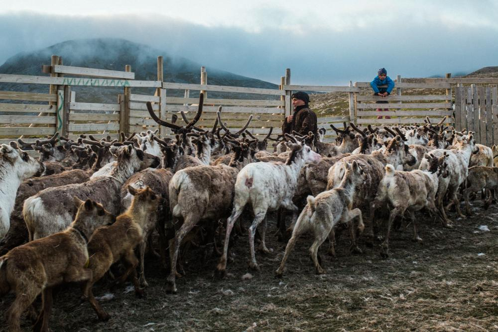 Inga Sara watches from the fence as the reindeers are being herded for the ear marking ceremony.