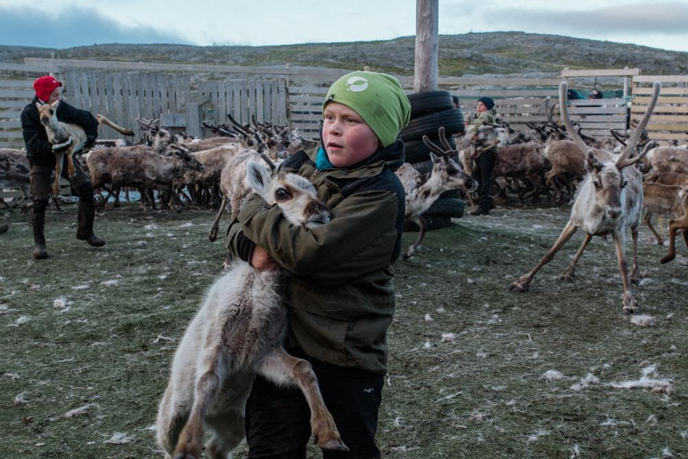 Niillas Heaika, 10, catches a young reindeer. He is helping his parents for the Sami ear marking ceremony wherein each Sami family has a distinctive mark they carve into the reindeers' ears to identify them as part of their herd. Since this involves working with calves, many Sami children are able to participate and learn more about their herding culture.