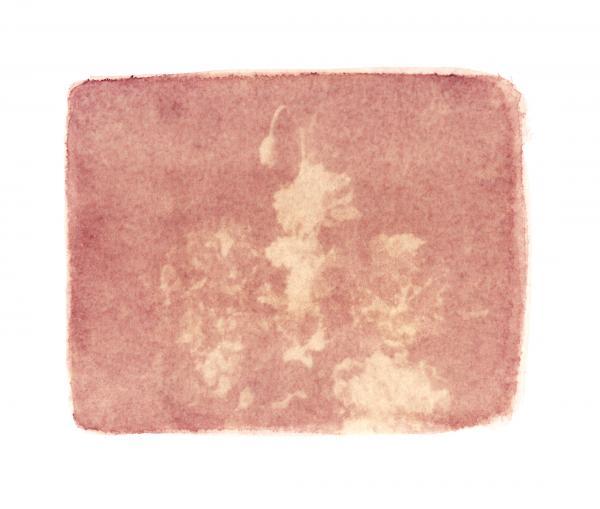 Pink Poppy (on Red Begonia)