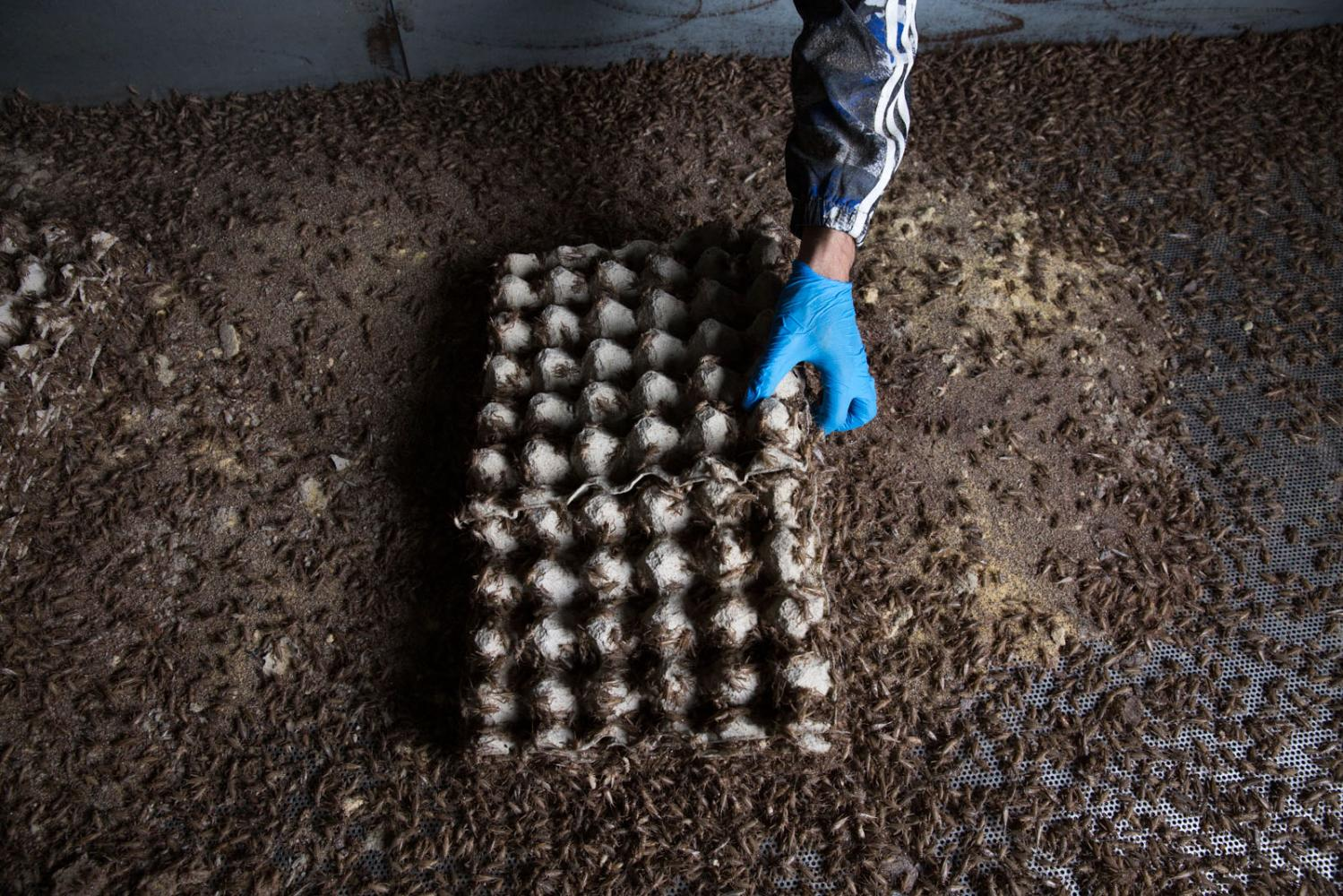 A worker empties a box of fully grown crickets ready to be frozen and turned in to food supplements. Chiang Mai, Thailand.