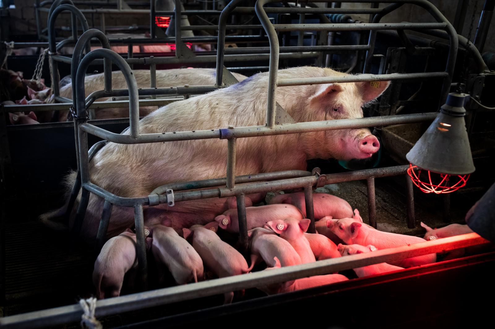 Photography image - Loading Schweinezucht_Markstueck_NadjaWohlleben26.jpg