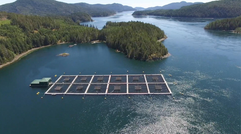 Fish farms transmit viruses to endangered wild salmon