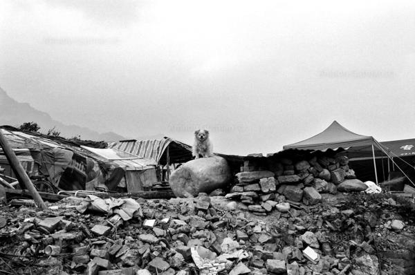 A dog (which survived the quake) standing near the ruins of his owners destroyed house. Hanwang town.