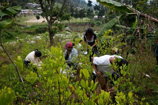 Working the Coca fields near La Playa, North Cauca.