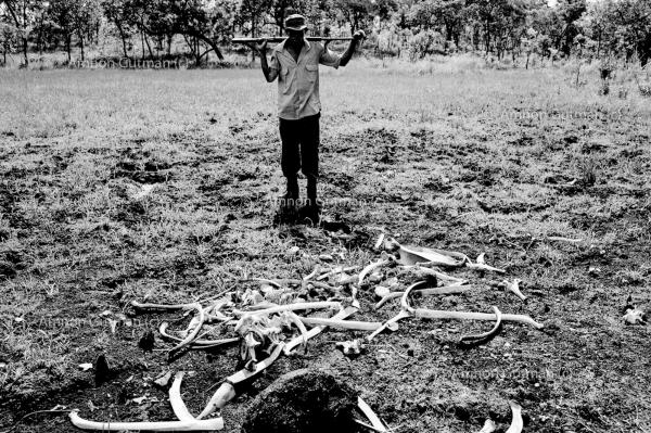 Documenting the remains of two elephants that were killed by poachers in the park area.