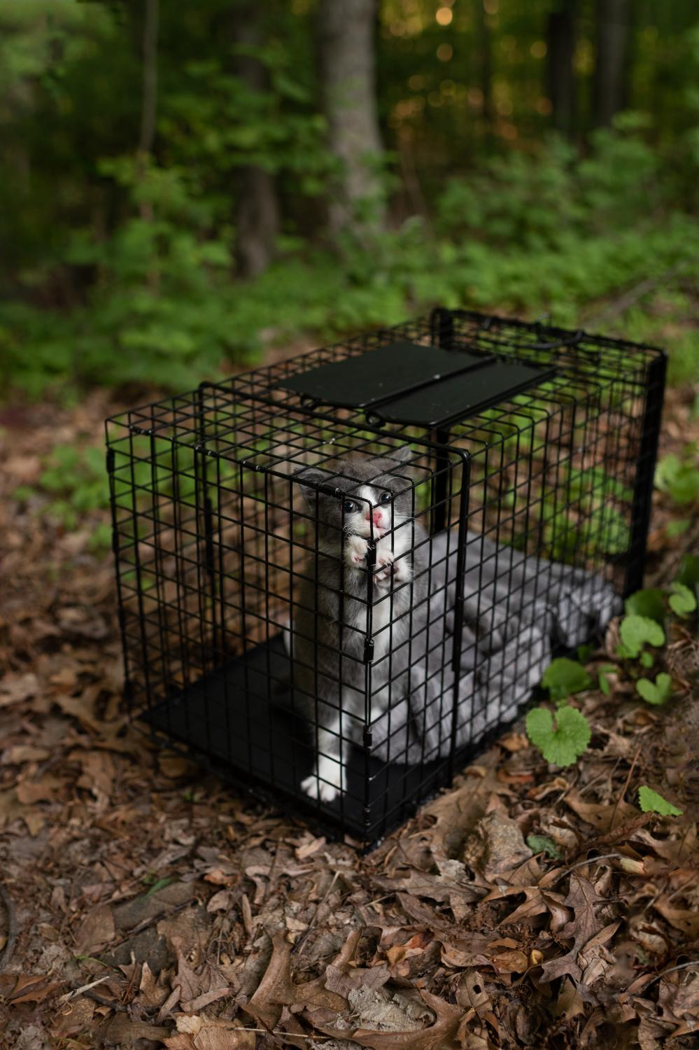 A captured feral kitten will be vetted and put up for adoption.