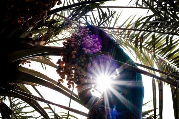 Date palm season