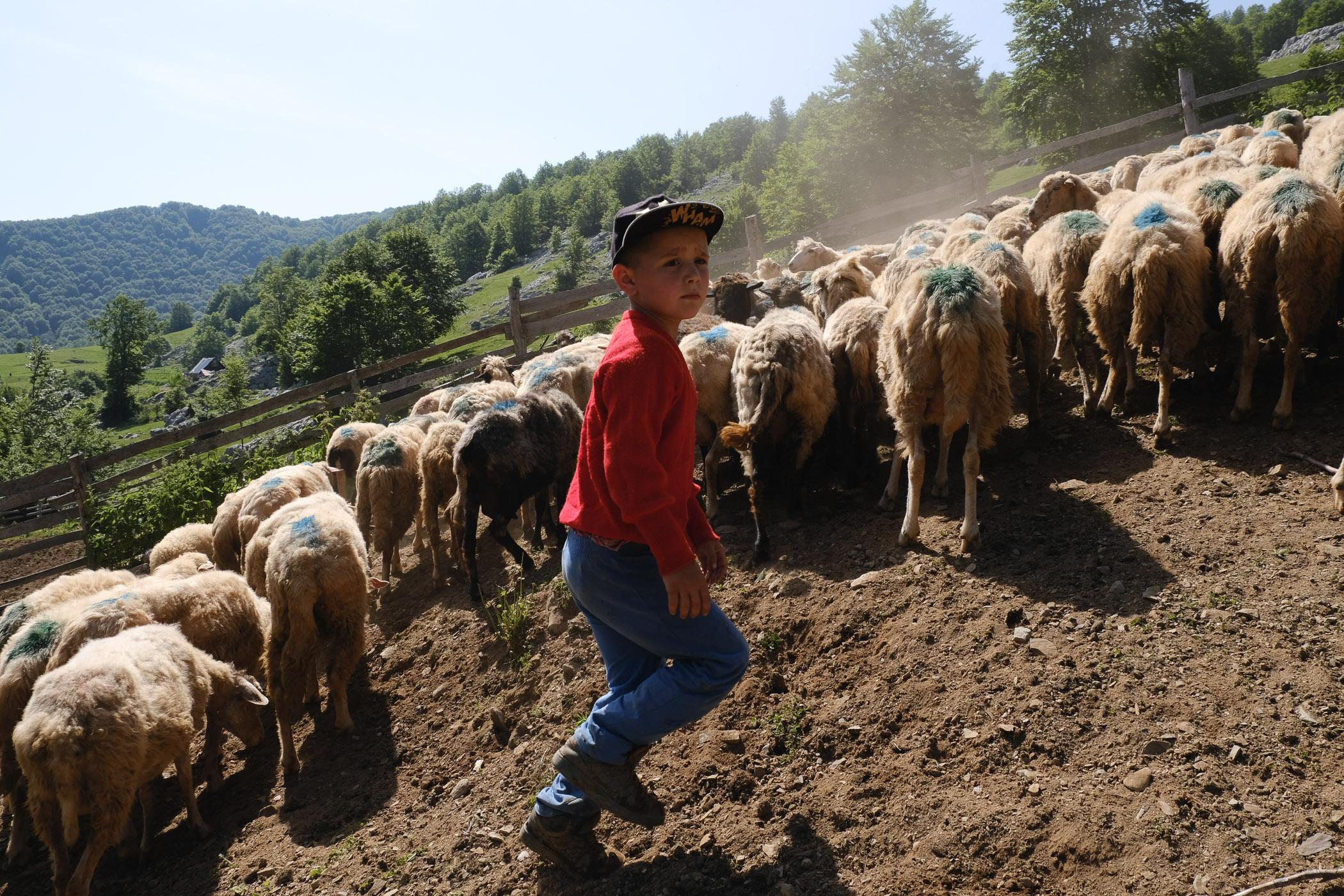 Wilson Bikaj, one of Gazmend's sons, helps round up sheep in an enclosure in Koprisht, Kelmend region, Albania. The entire Bikaj family takes part in the process of caring for and grazing the sheep during the summer months.