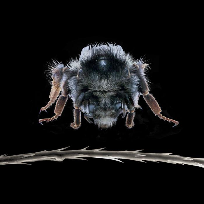 """BEE FUZZ The decline of bees worldwide is well-documented, as is the threat to crops that rely on them for pollination. Little known is that natural mycelial extracts are being developed which boost bee immunity. Mycologist Paul Stamets says, """"Mycelium is the immune system of the mushroom."""" Fuzz: 800x"""