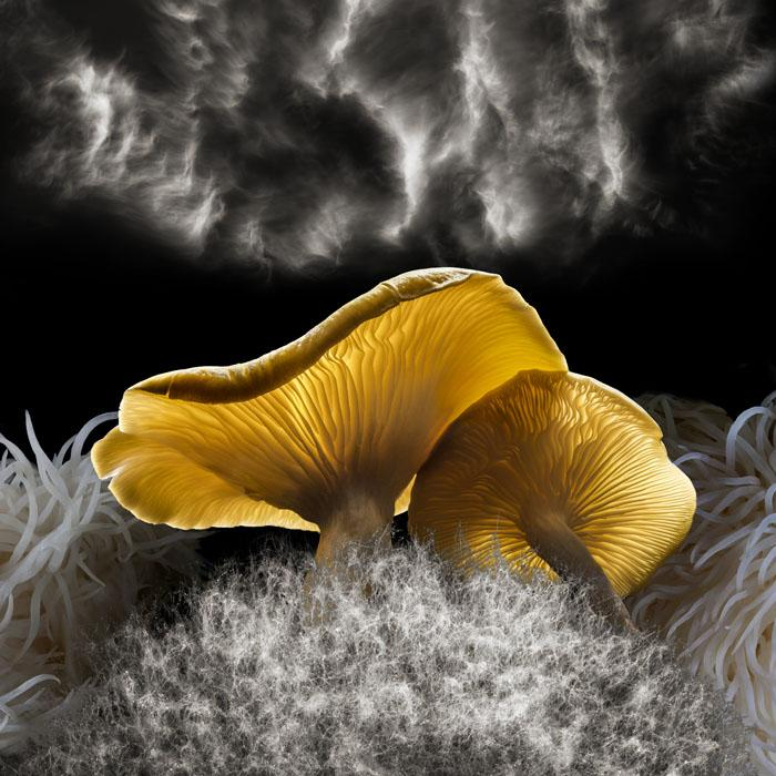 MUSHROOM CLOUD Fungal/mycelial networks are indispensable for creating healthy soil, optimum conditions for plant growth, and remarkably: rain. Trillions of fungal spoors released into the air act as rain seeds, which create clouds. Wine cap mycelium:1x, lion's mane: 1x, golden oyster:1x