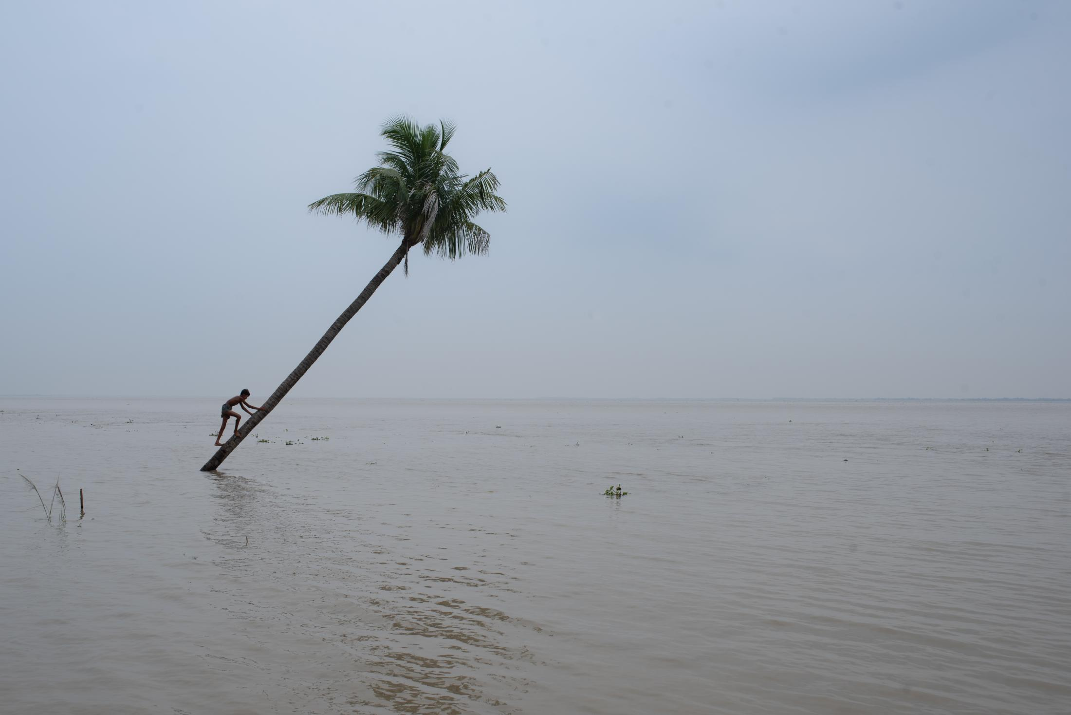 A boy climbs a tree that has fallen due to the flooding of the Padma river in Bangladesh.